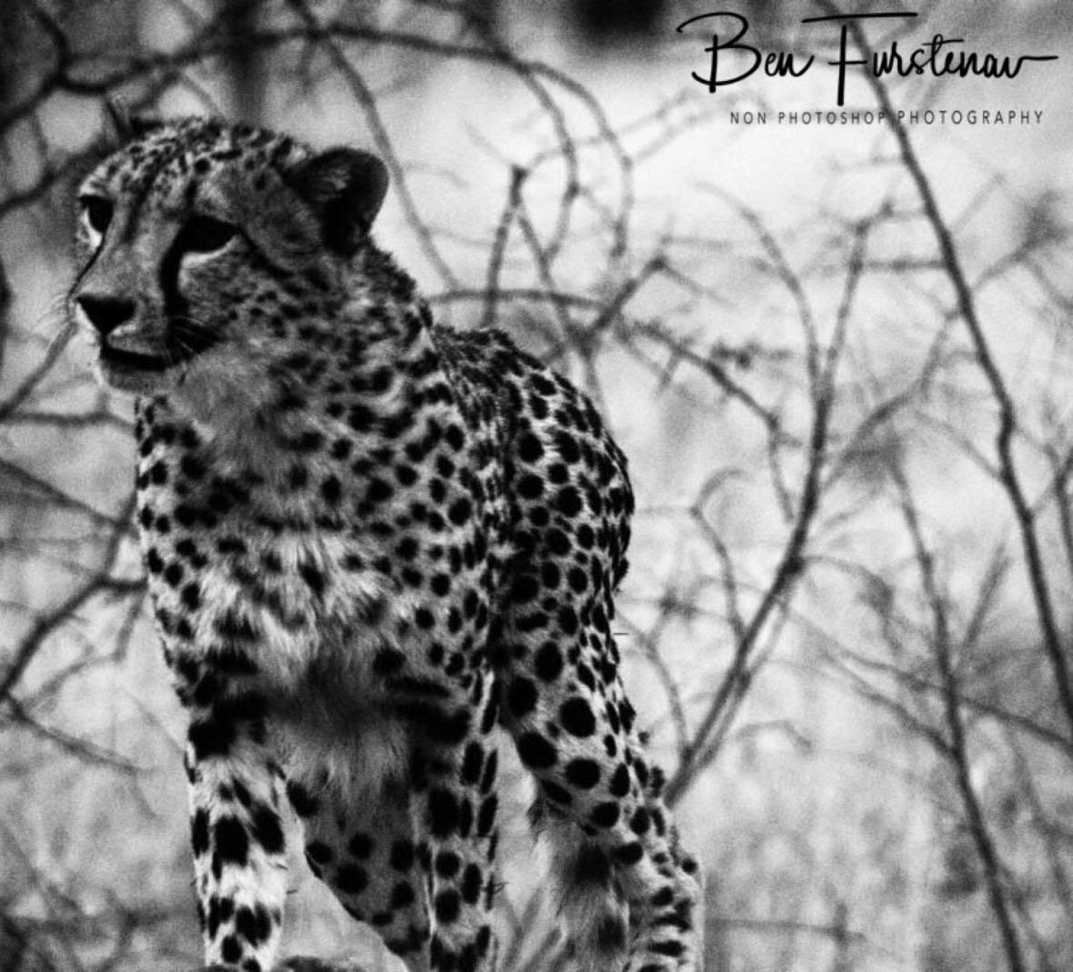 On the prowl, Sophienhof, Outjo, Namibia