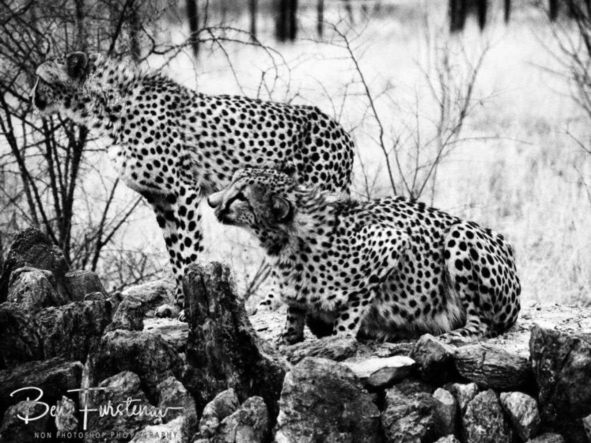 Shy cheetah brothers, Sophienhof, Outjo, Namibia