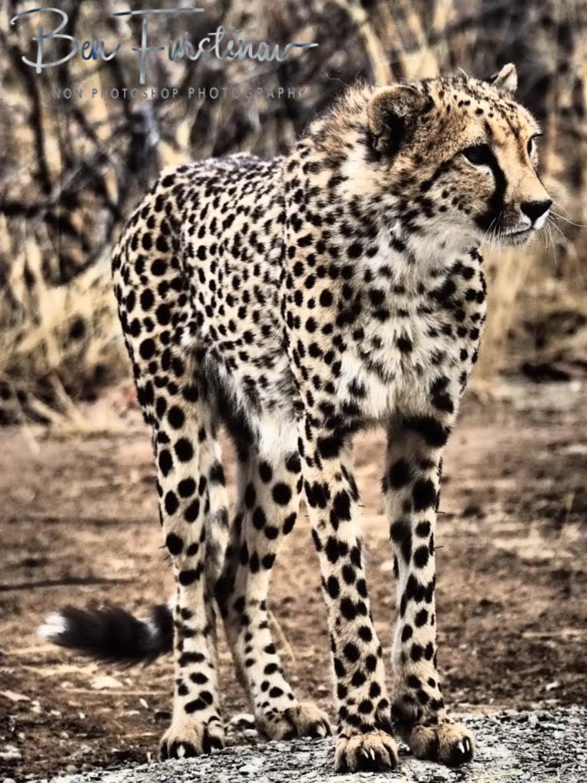 Graceful cheetah, Sophienhof, Outjo, Namibia