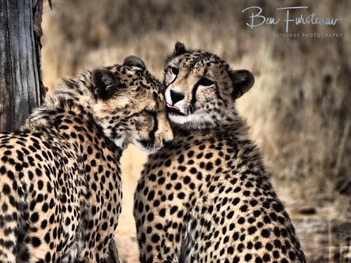 Brothers in paws, Sophienhof, Outjo, Namibia