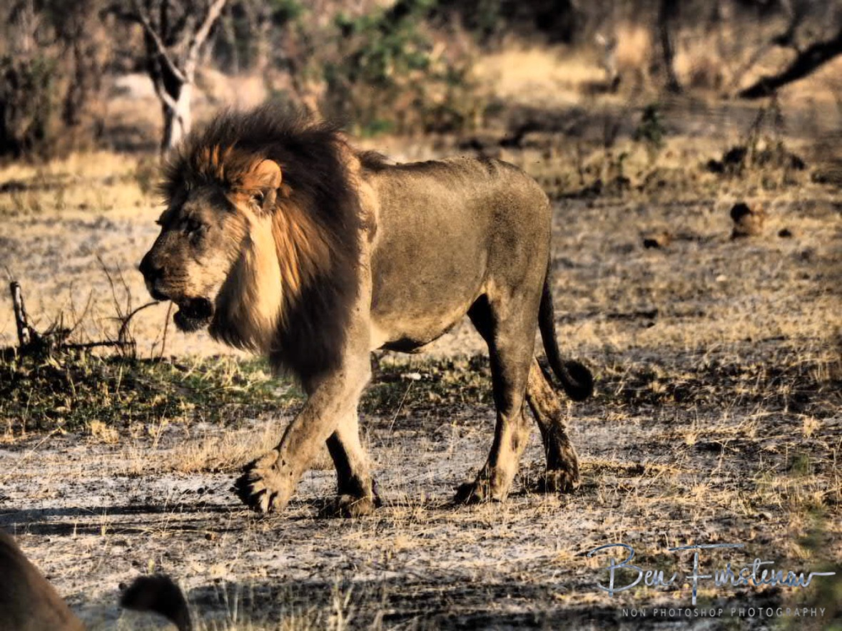 The second lion king, Khaudum National Park, Namibia