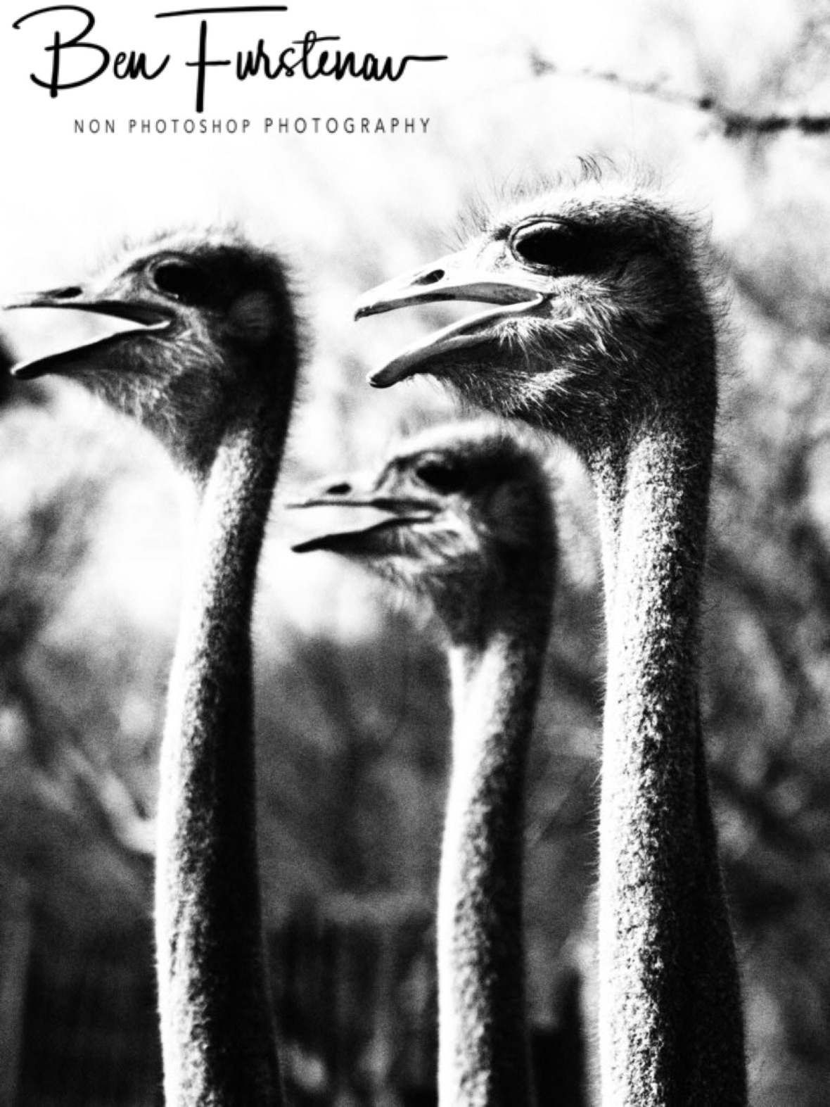Ostrich triple header, Oppi Koppi, Kamanjab, Namibia