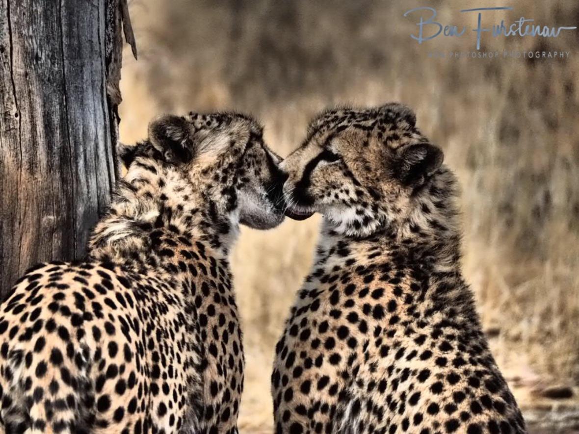 Smooching cheetahs, Sophienhof, Outjo, Namibia