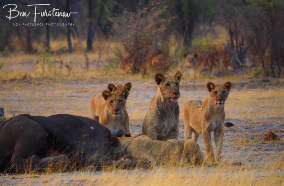 5 uncertain young lions whilst mom and dad watched from the bushes, Khaudum National Park, Namibia