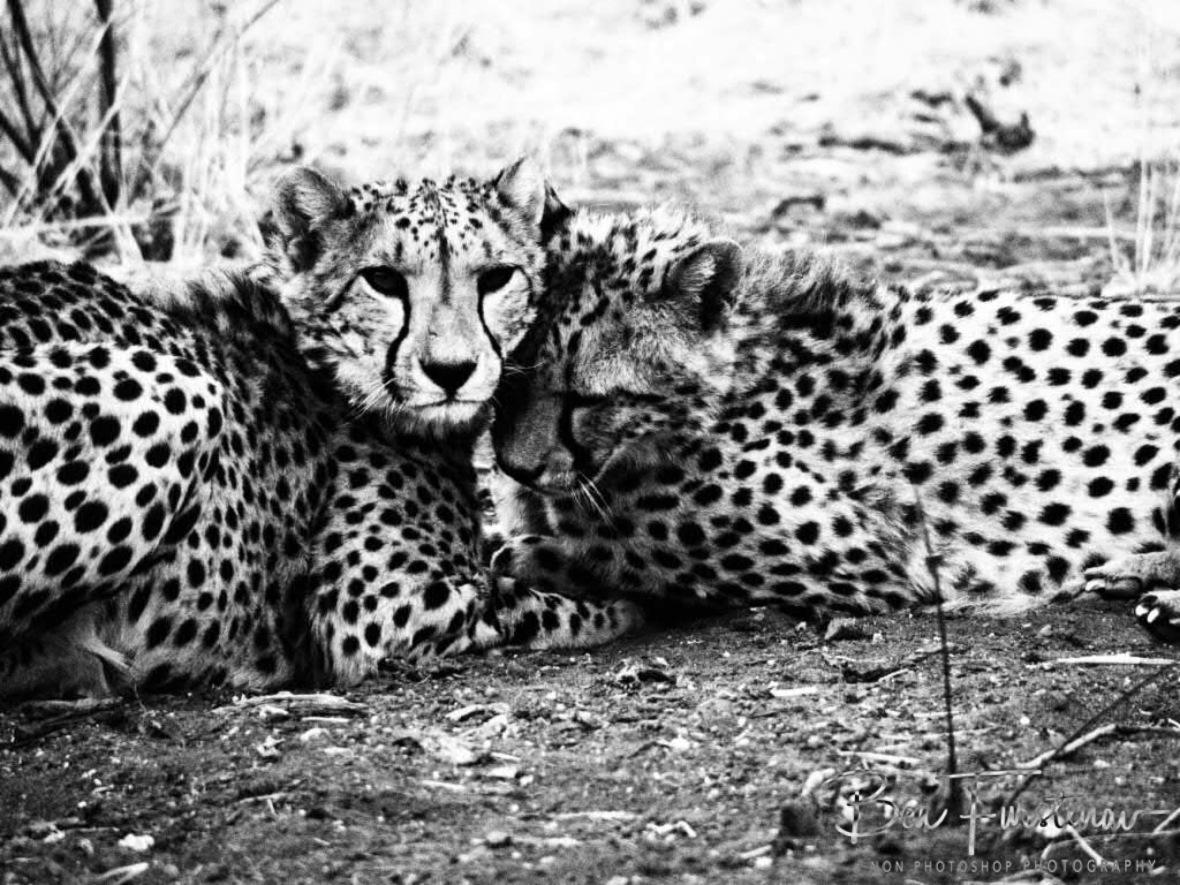 Cheetah cuddlxs, soph, Outjo, Namibia