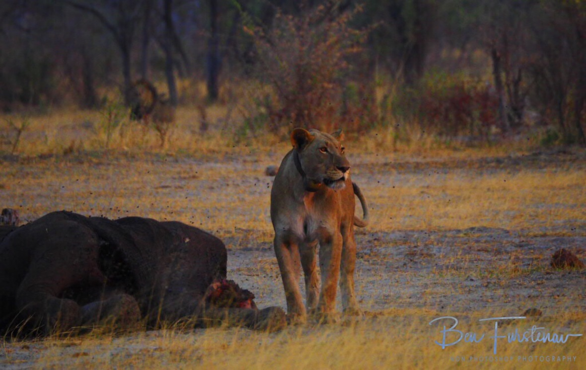 The lioness near the carcass as the lion king moves in closer, Khaudum National Park, Namibia