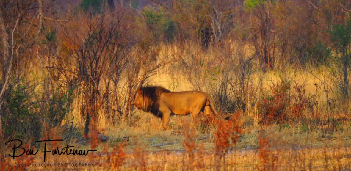 The lion king on the move, Khaudum National Park, Namibia