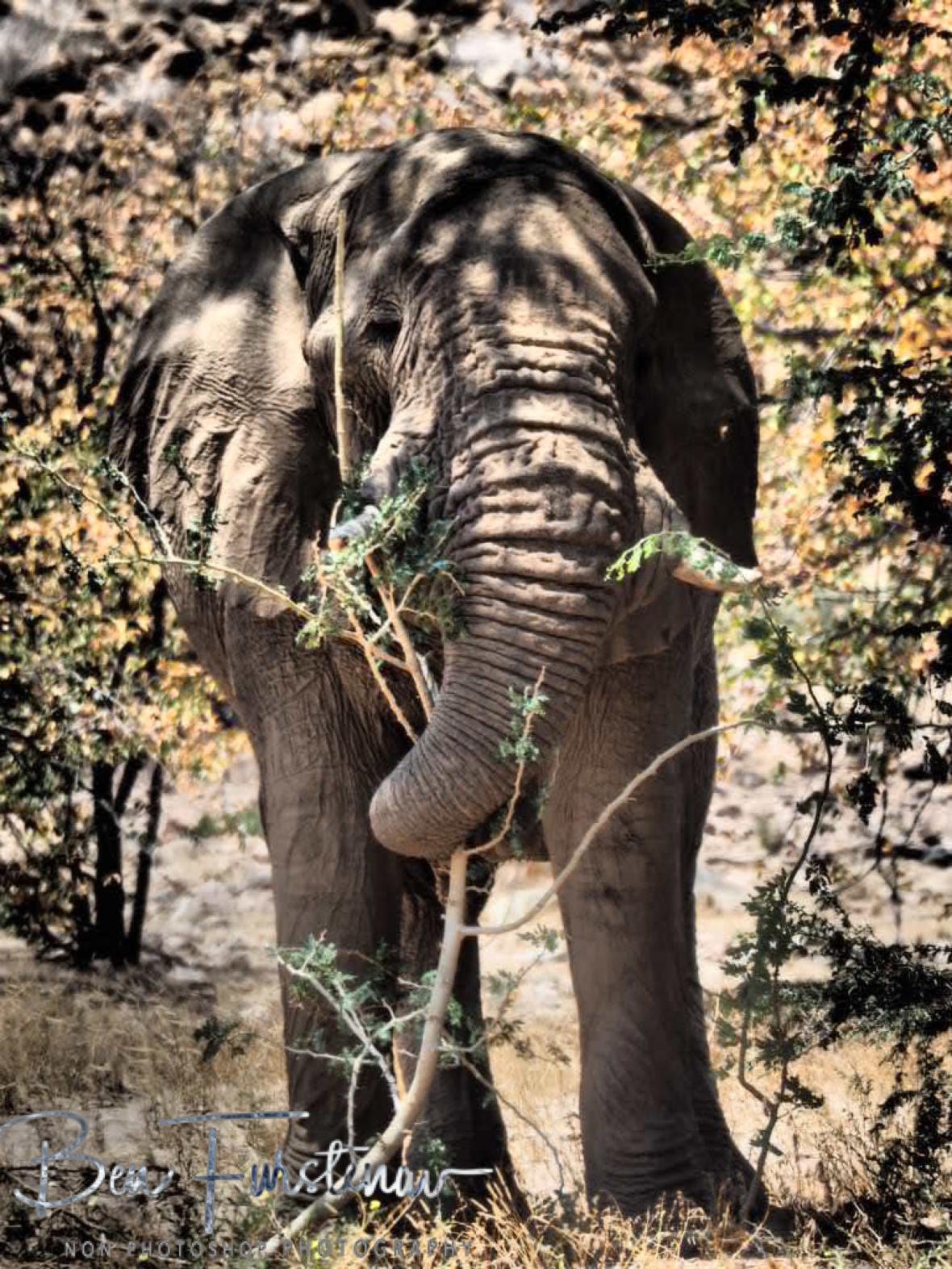 Tasty twigs, Damaraland, Namibia