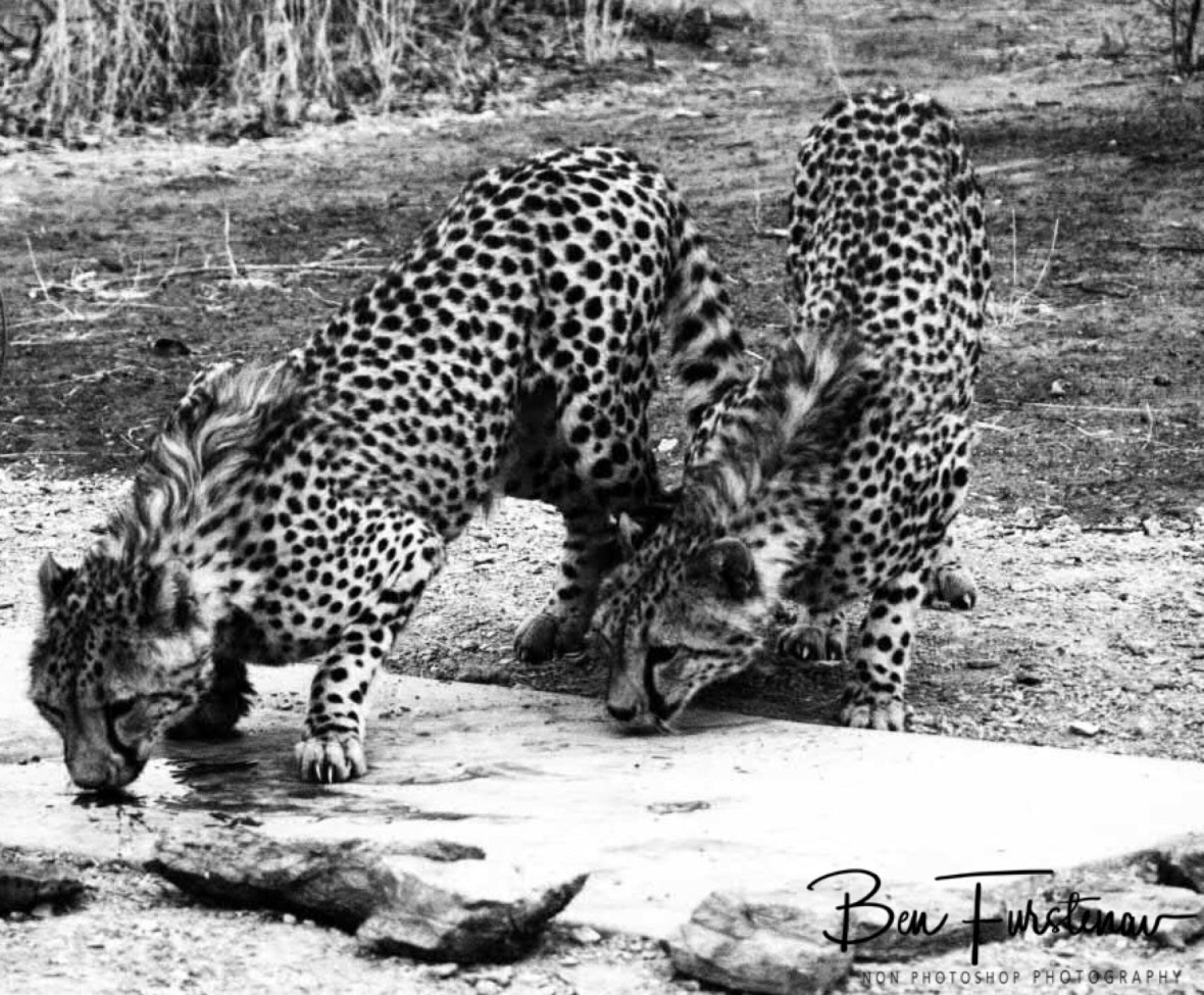 Even whilst feeding, younger Kitty stays behind, Sophienhof, Outjo, Namibia