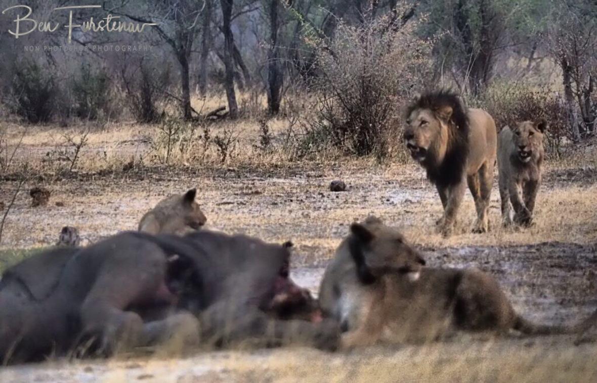 The king on its way, Khaudum National Park, Namibia