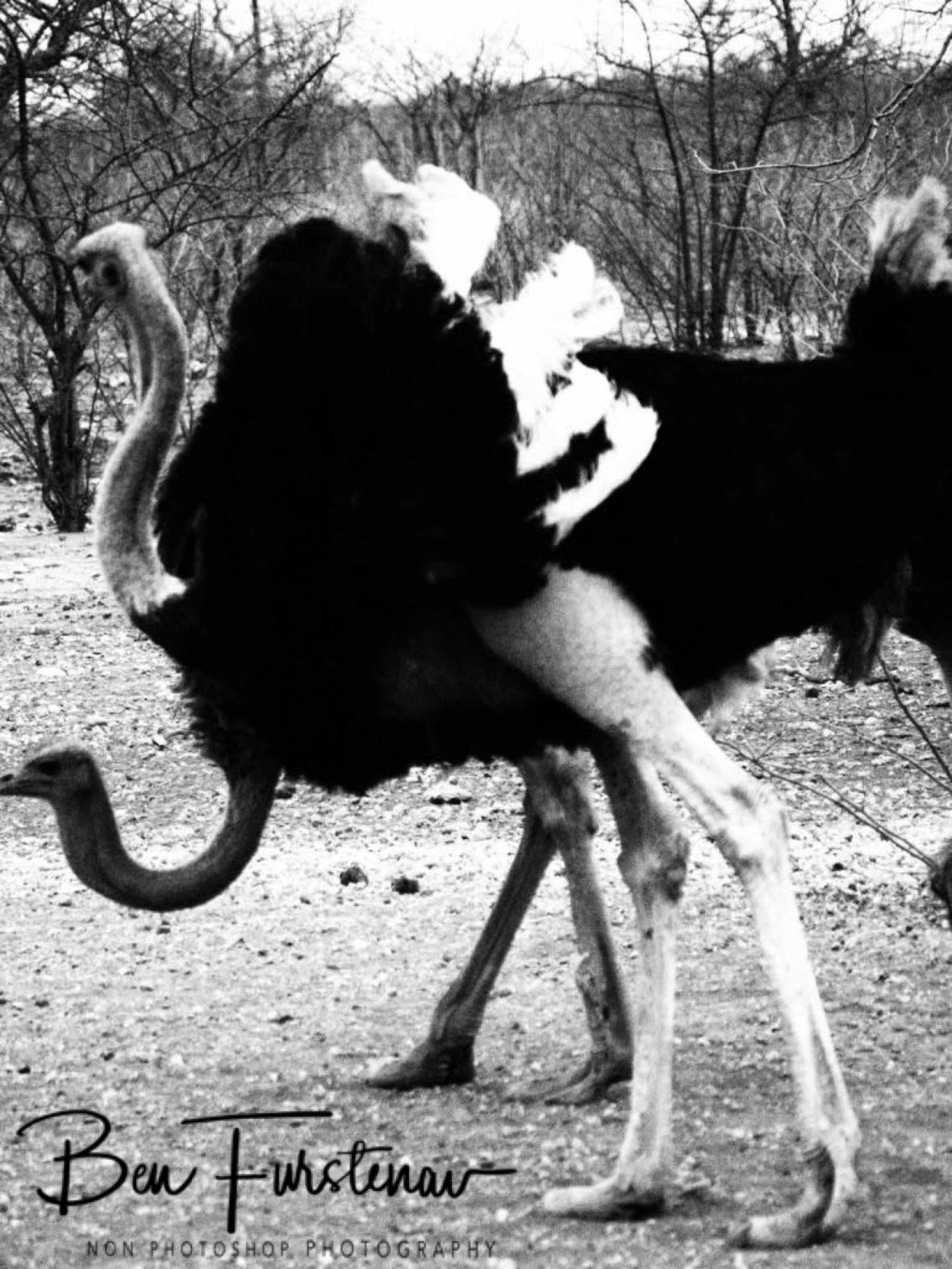 Ostrich ballet, Sophienhof, Outjo, Namibia
