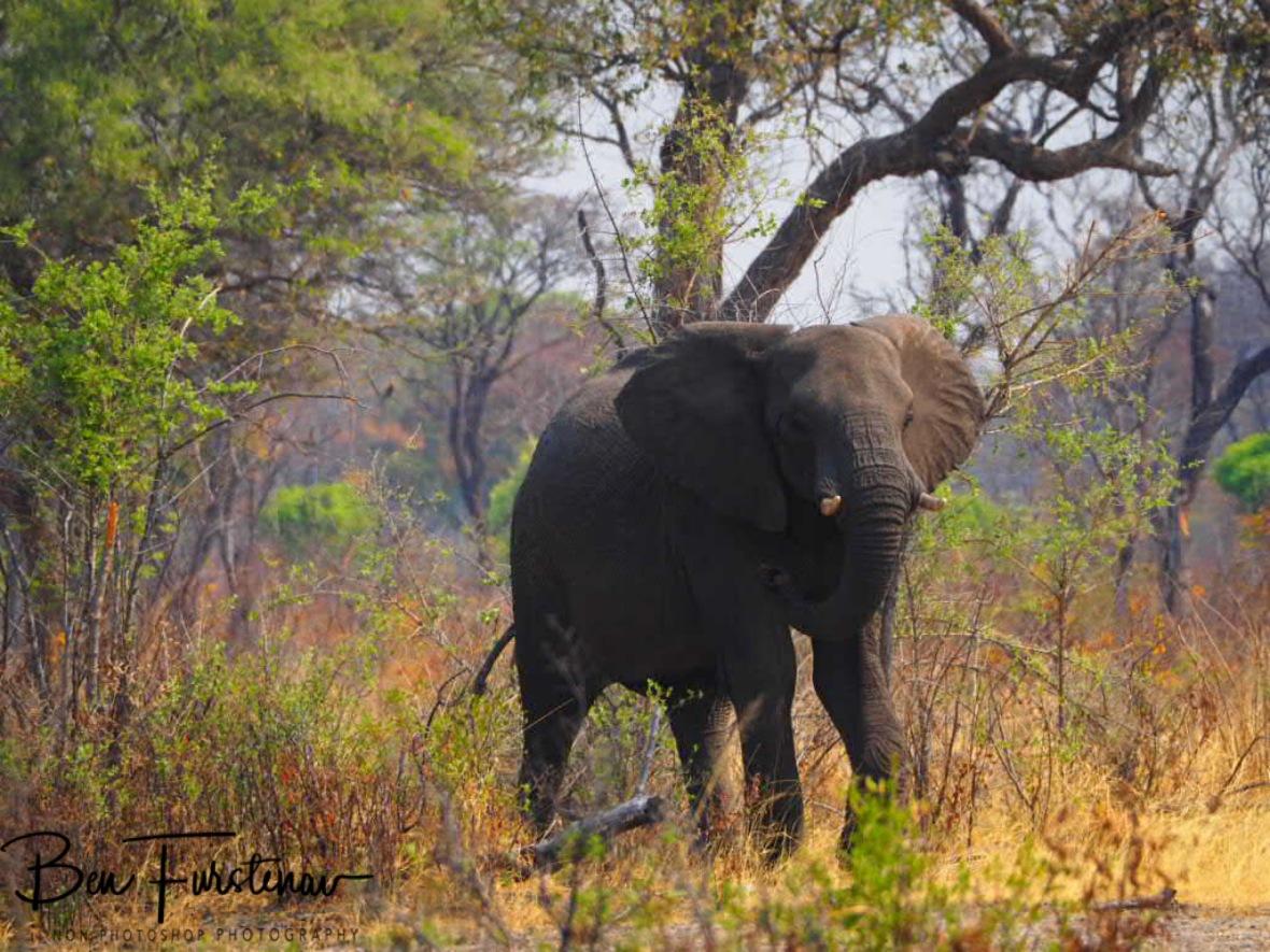 An elephant on his way to the waterhole, Khaudum National Park, Namibia