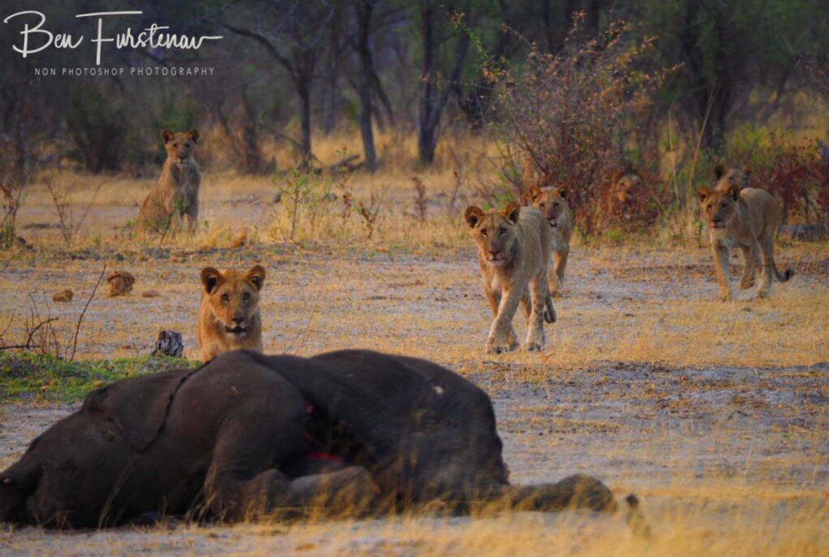 Coming back one on one, Khaudum National Park, Namibia