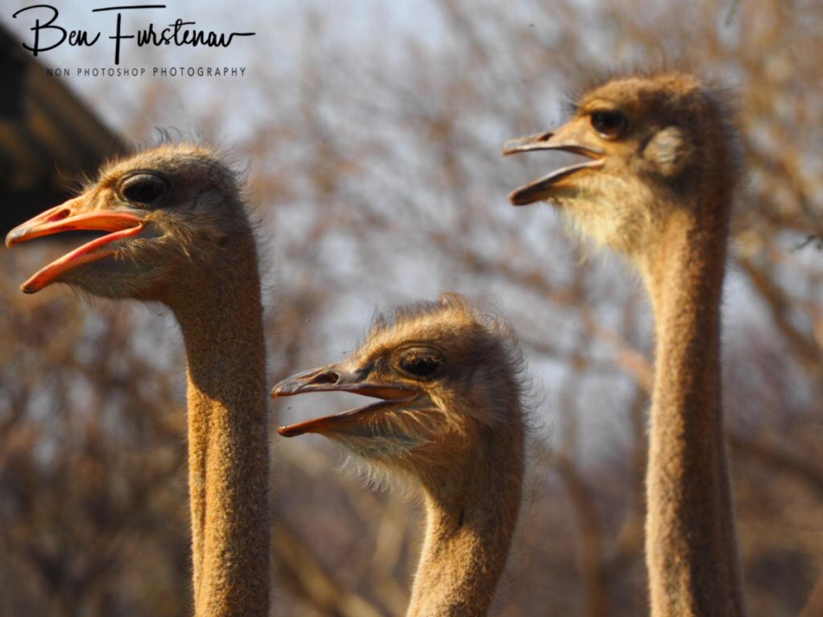 Ostrich neighbourhood, something new, Oppi Koppi, Kamanjab, Namibia