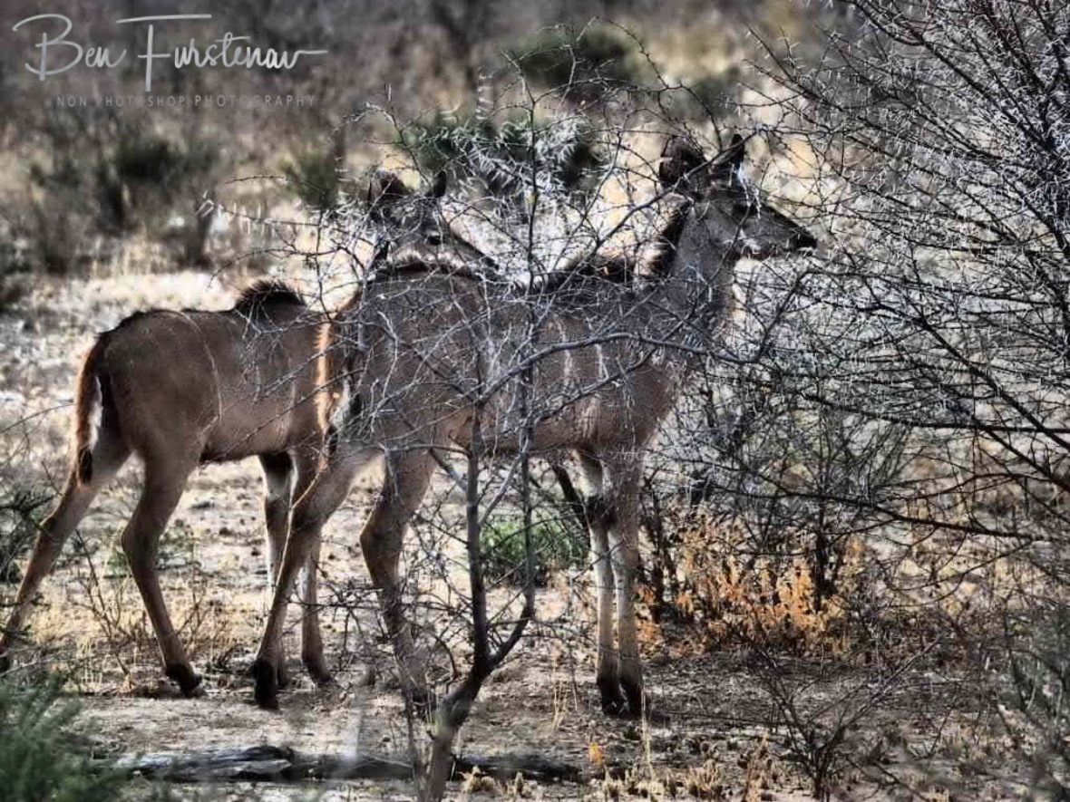Kudu blending in with acacia scrubs, Sophienhof, Outjo, Namibia
