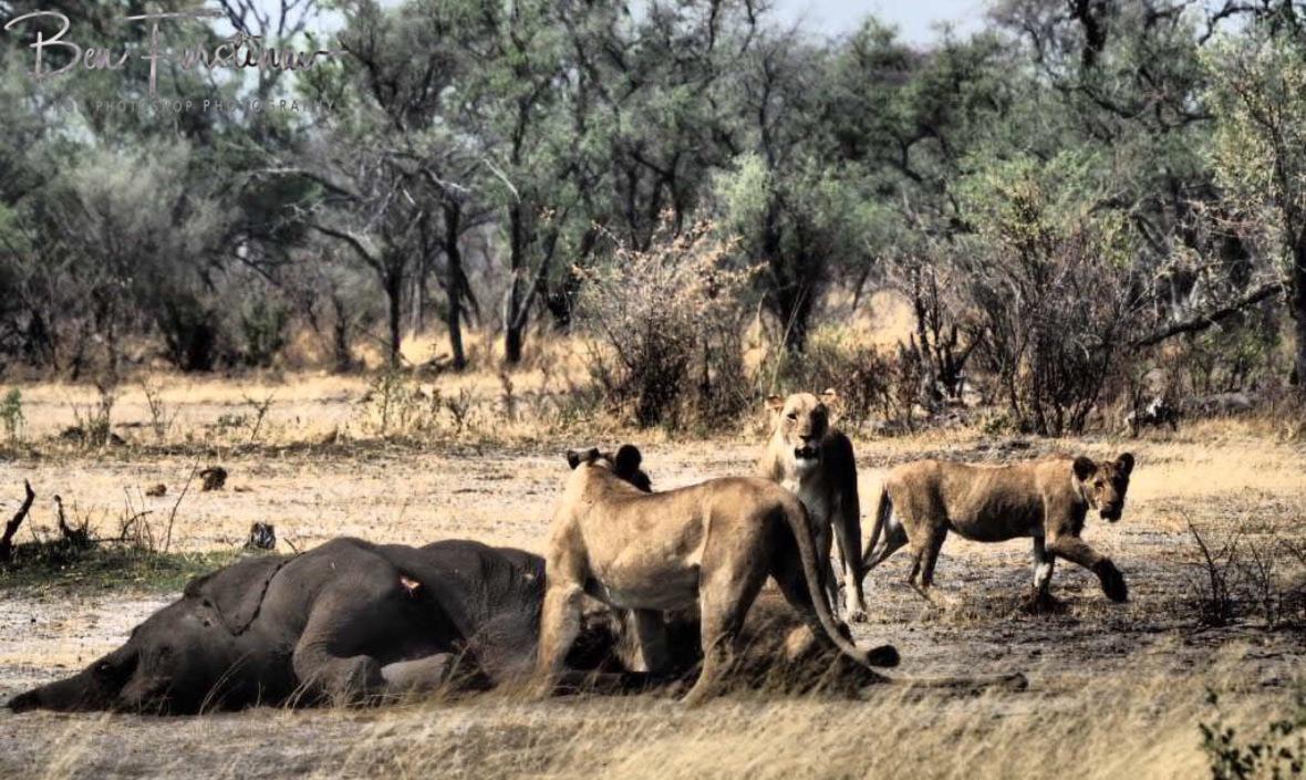 Lioness feast, Khaudum National Park, Namibia