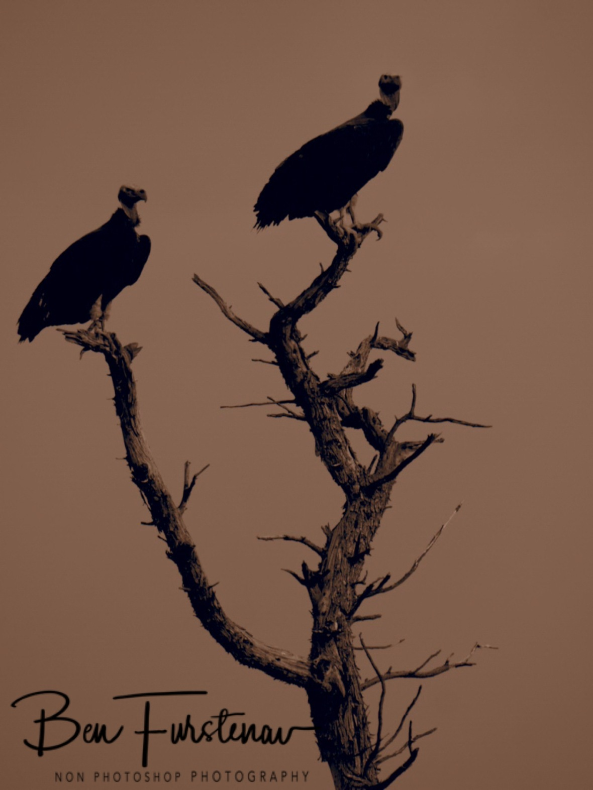 Vultures on the lookout, Sophienhof, Outjo, Namibia