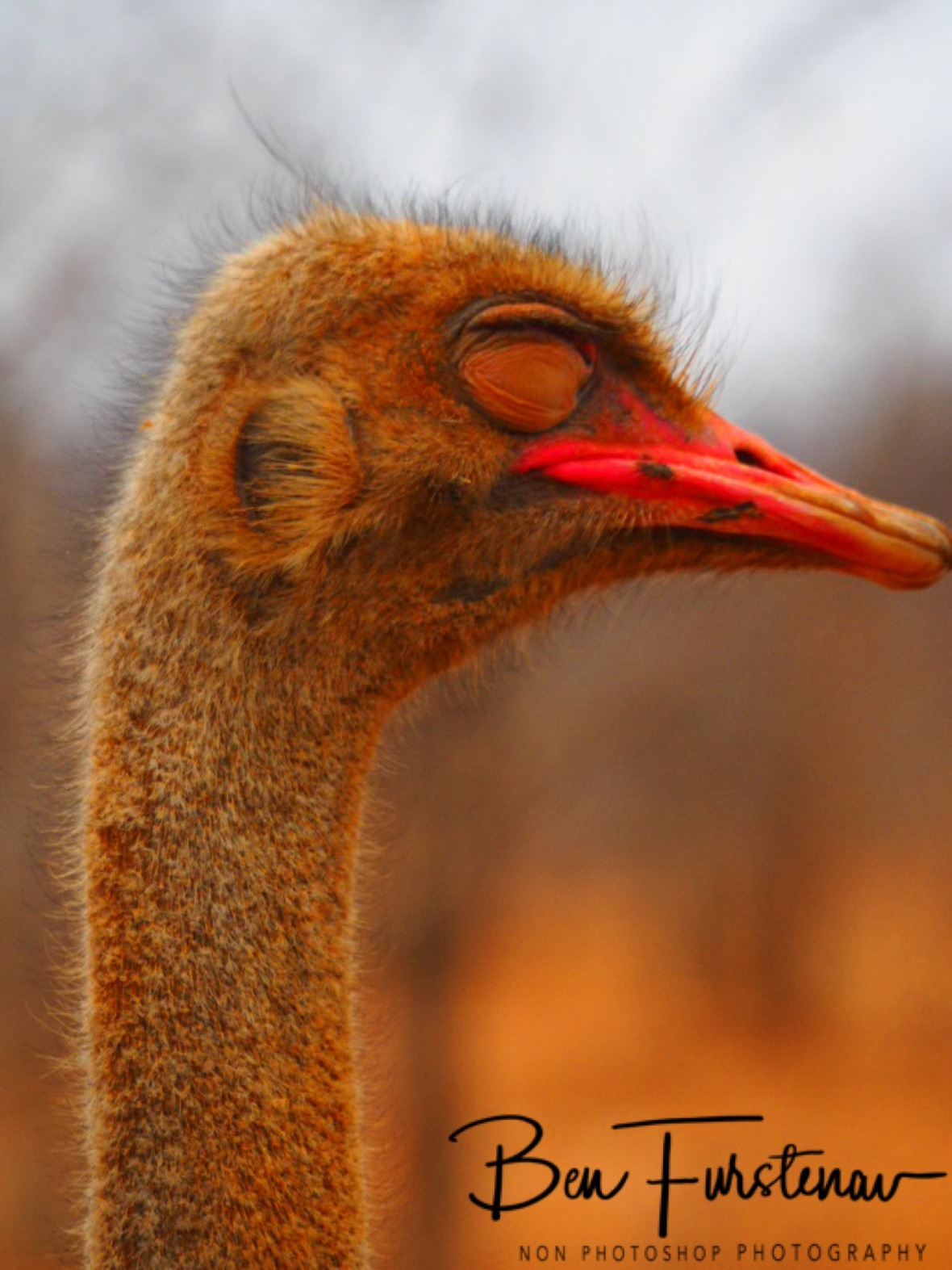 Ostrich with a sore eye, Sophienhof, Outjo, Namibia