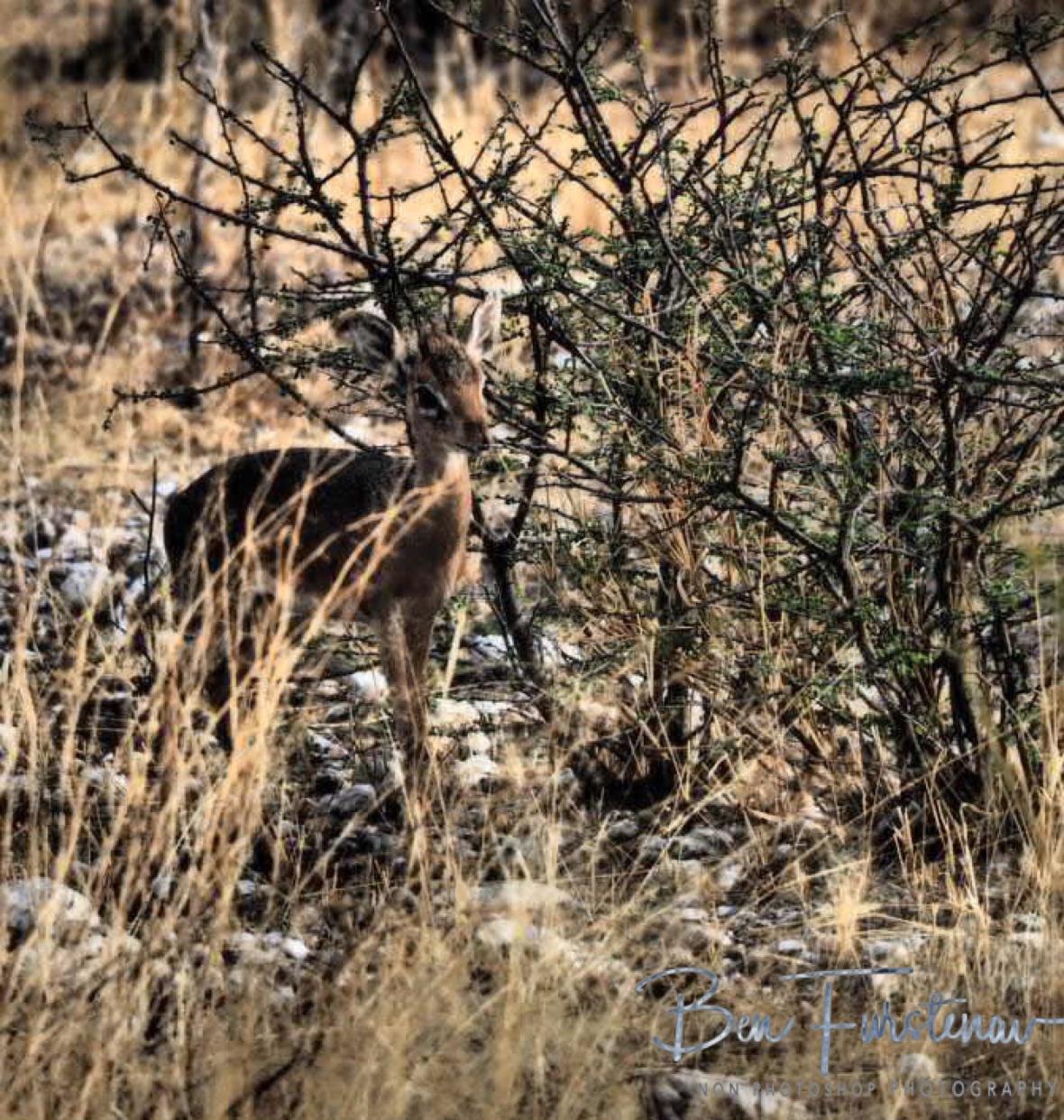 Tiny Dik-Dik, Sophienhof, Outjo, Namibia