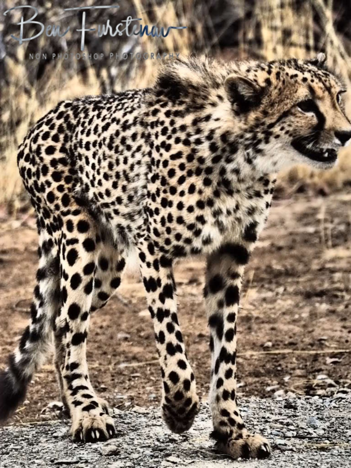 The larger cheetah brother, Sophienhof, Outjo, Namibia