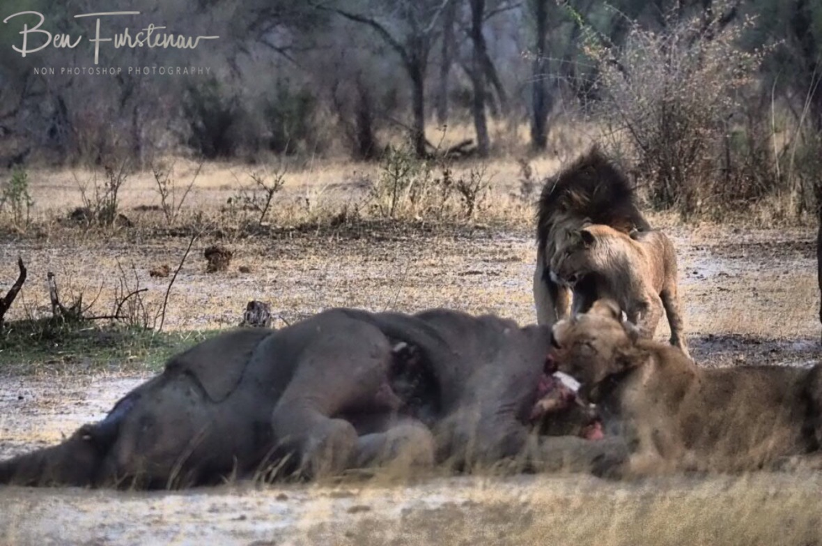 Unusual for male lions to show much affection, Khaudum National Park, Namibia