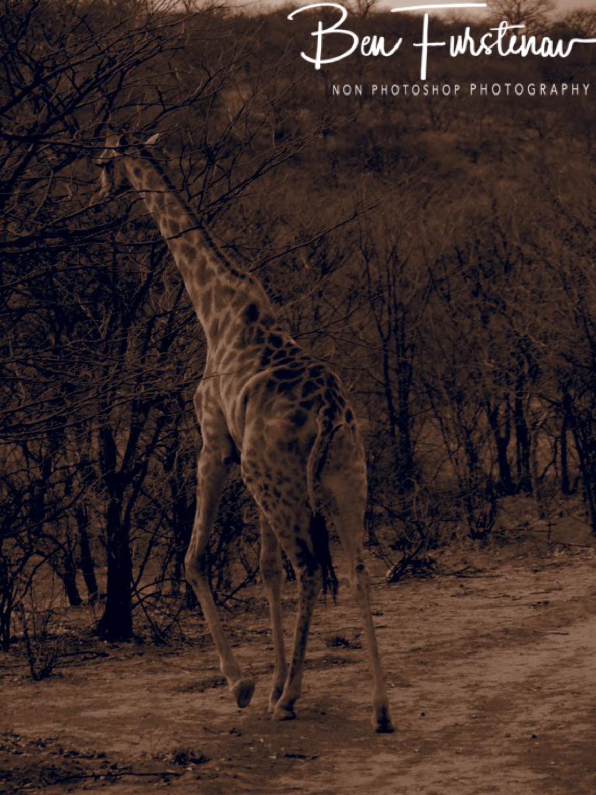Mom giraffe, Sophienhof, Outjo, Namibia
