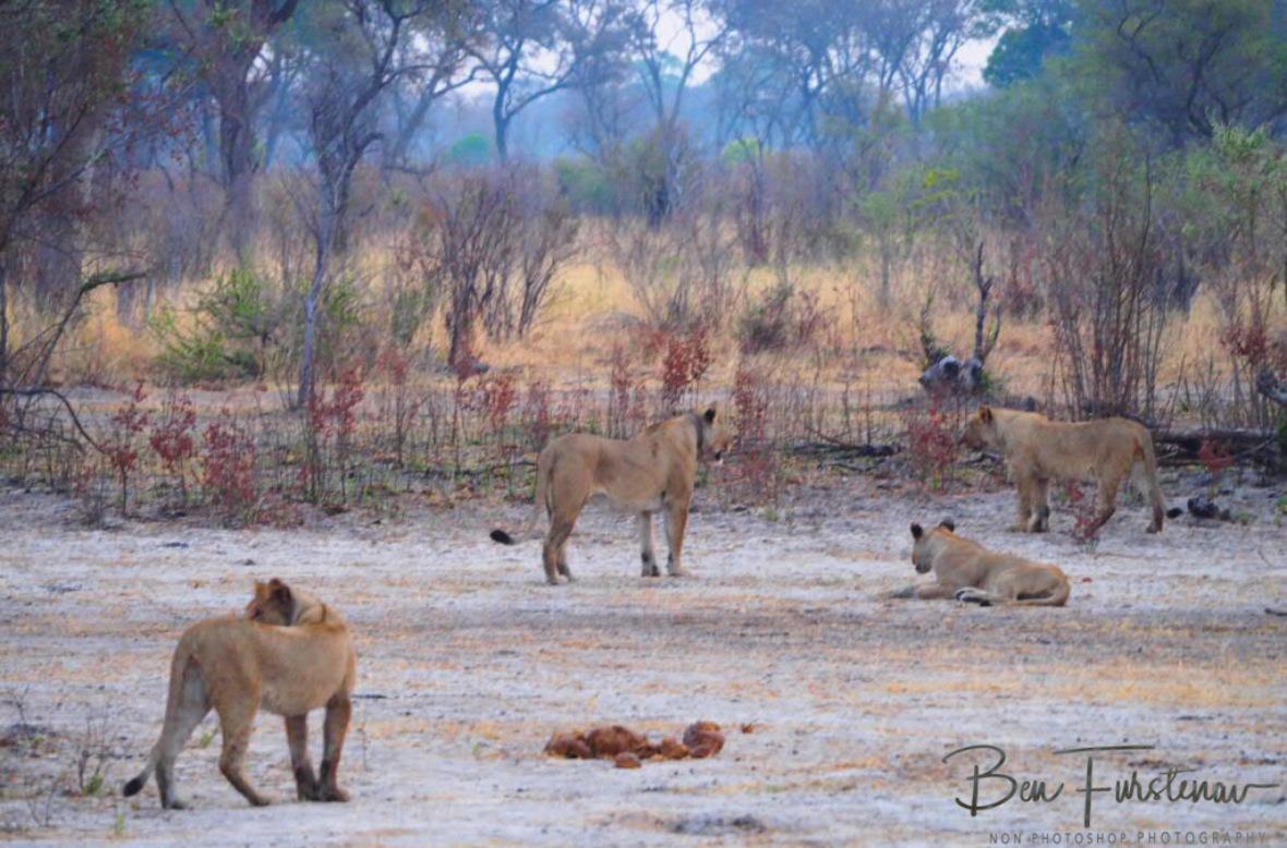 The run off pride, Khaudum National Park, Namibia