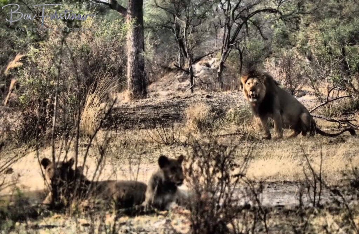 Lion king marking his pride kingdom, Khaudum National Park, Namibia
