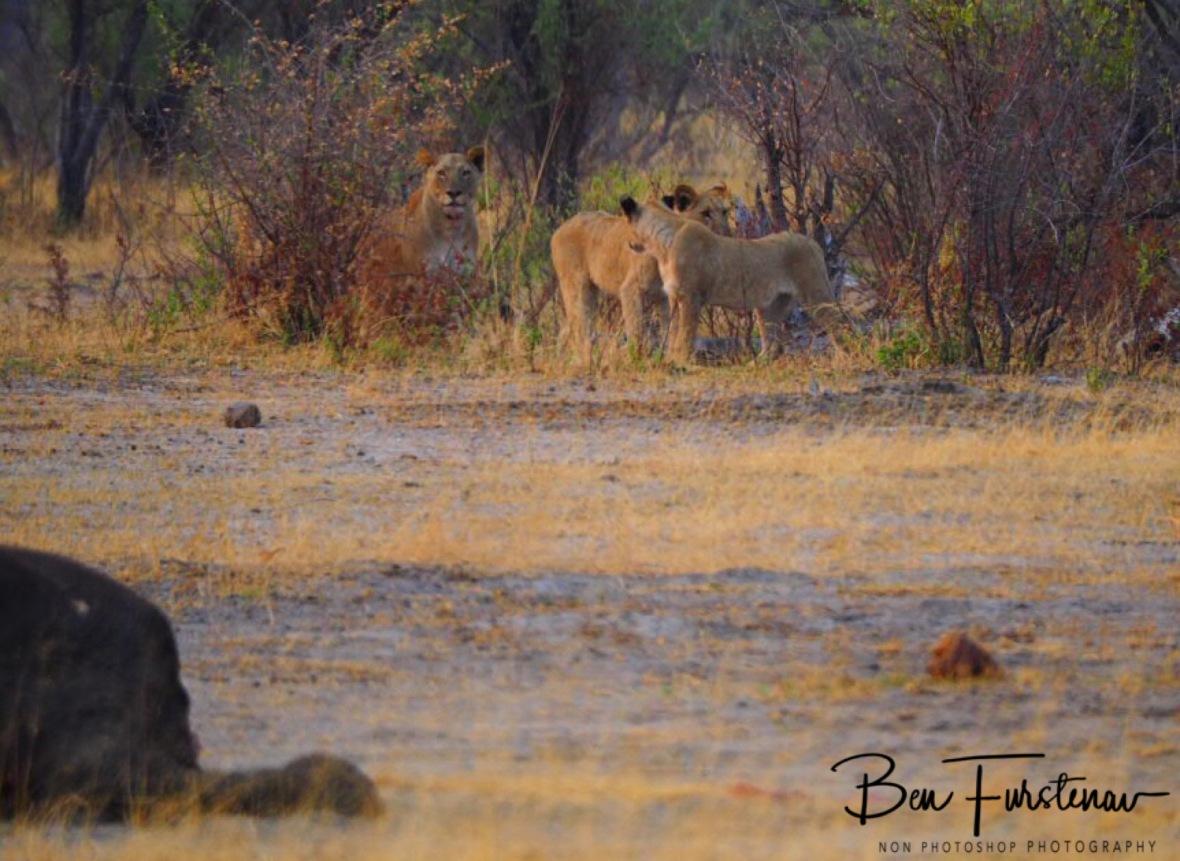 Please mom? I am hungry!, Khaudum National Park, Namibia
