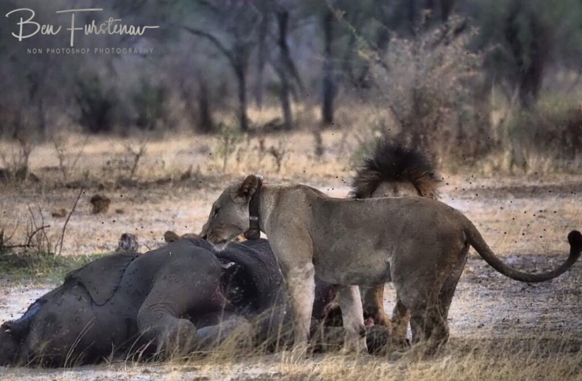 The lioness moves on, Khaudum National Park, Namibia