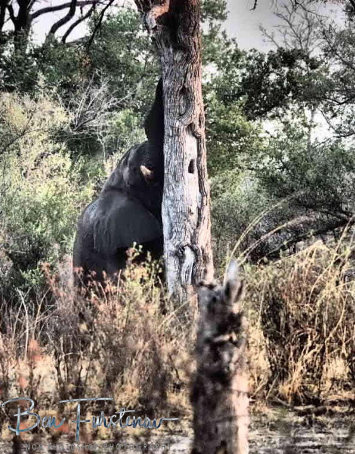 Nothing like a good tree rub, Khaudum National Park, Namibia