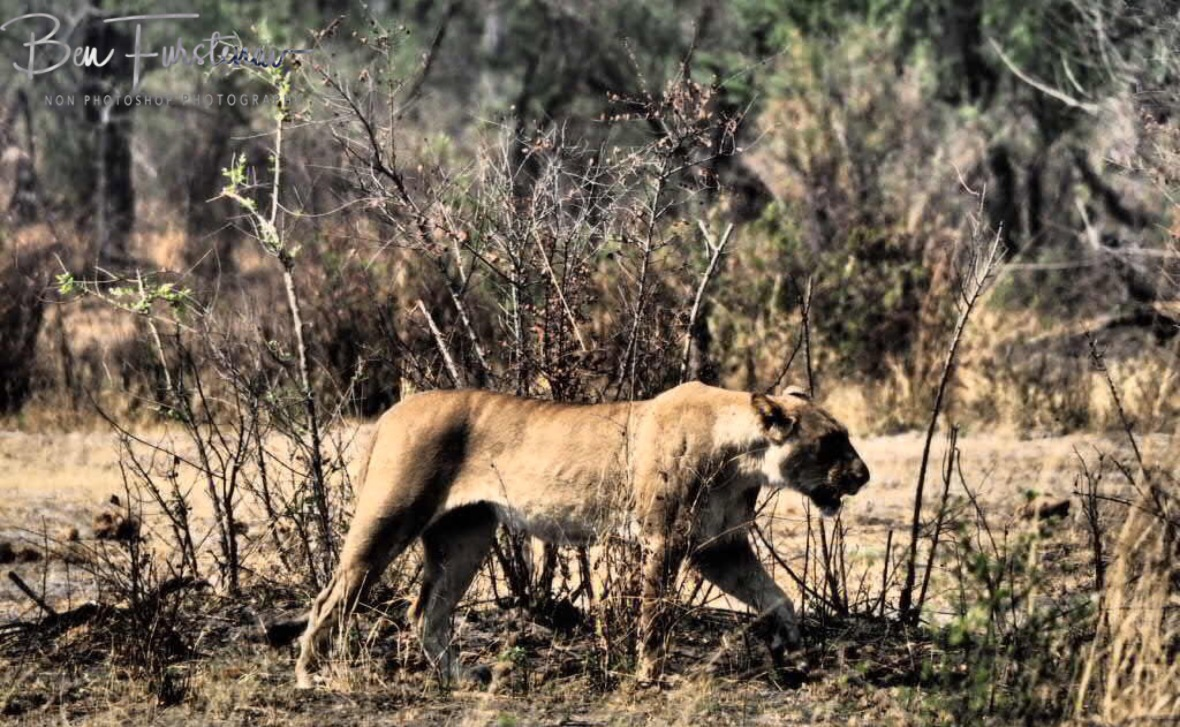 Skinny lioness with full belly, Khaudum National Park, Namibia