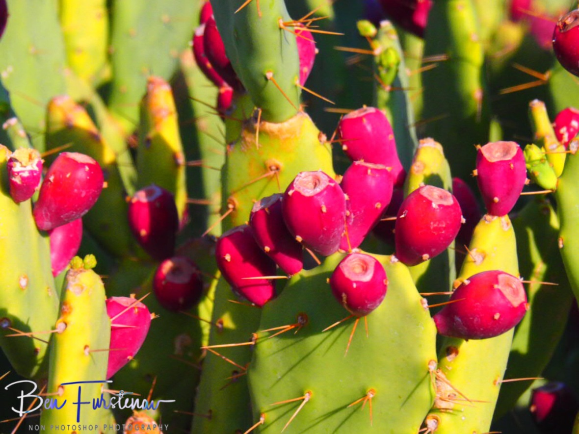Fruitful cactus, Brandberg Mountains, Namibia