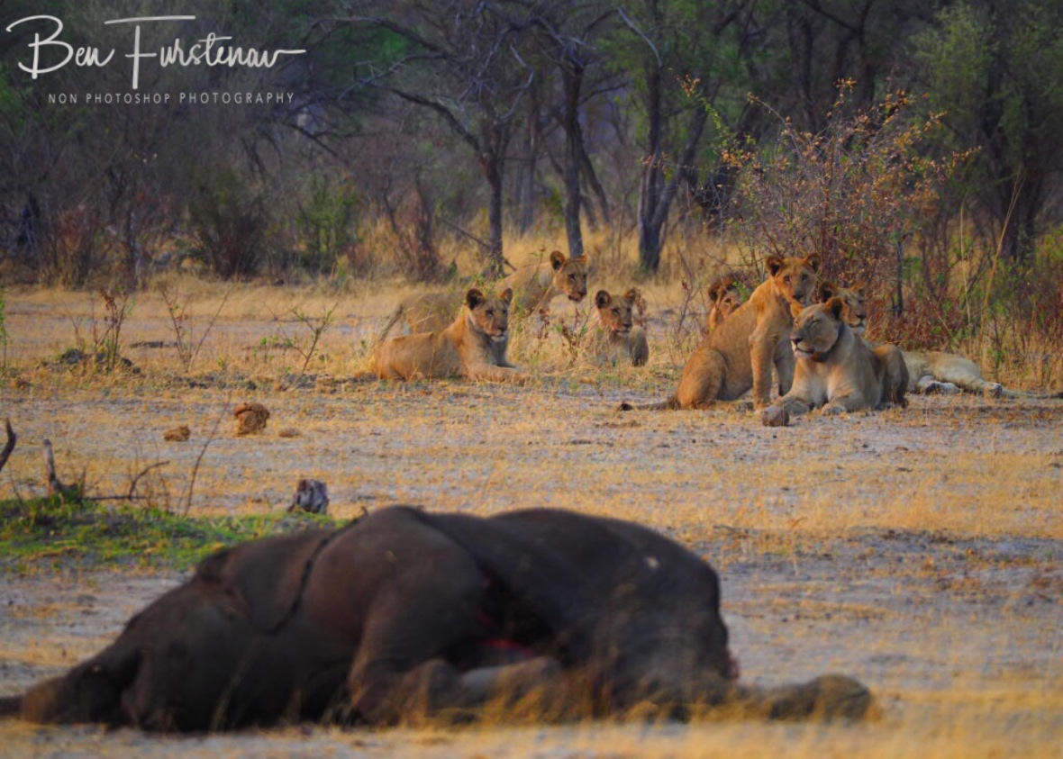 Skitty cats, thankfully, Khaudum National Park, Namibia