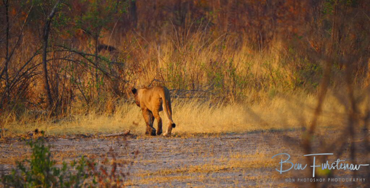The lioness walks off, Khaudum National Park, Namibia