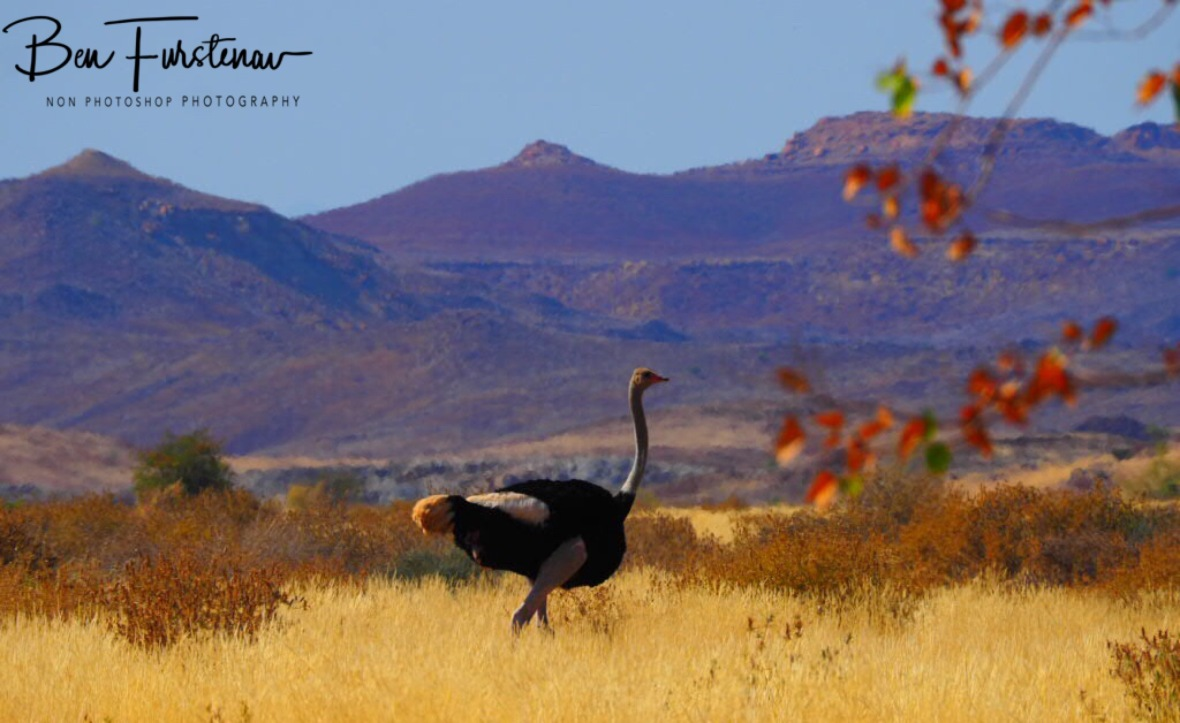 Ostrich roaming plains overlooking Brandberg mountain range, Brandberg, Namibia