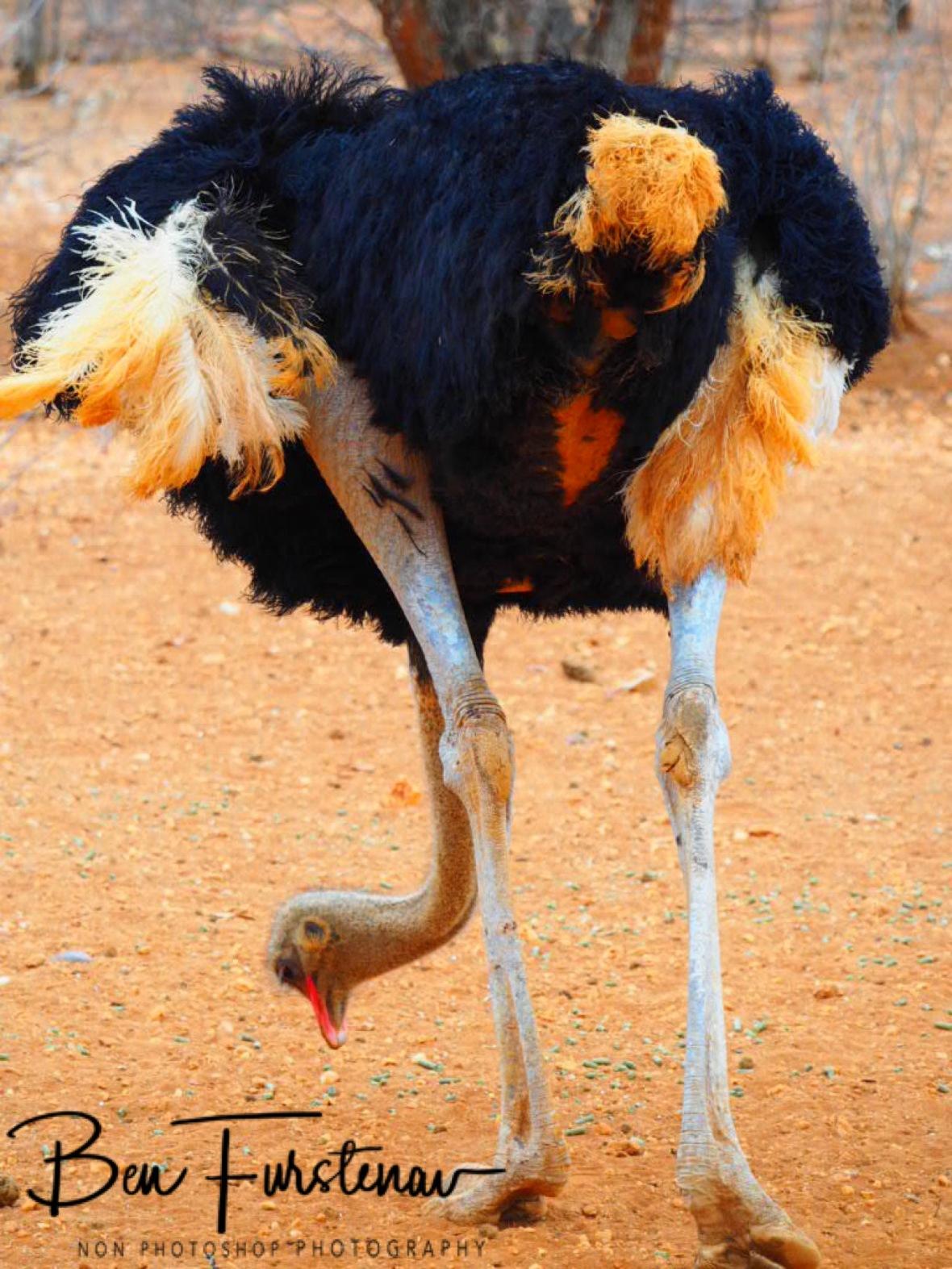 Oversized chicken, Outjo, Sophienhof, Namibia