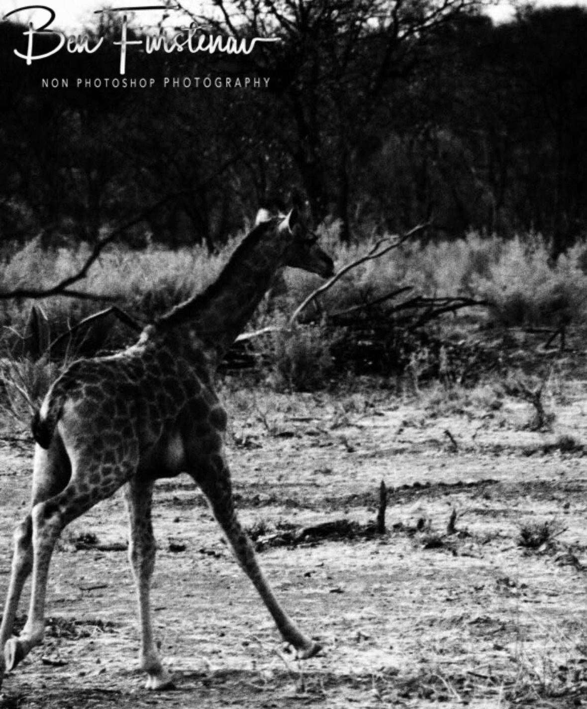 Young giraffe running for cover, Sophienhof, Outjo, Namibia