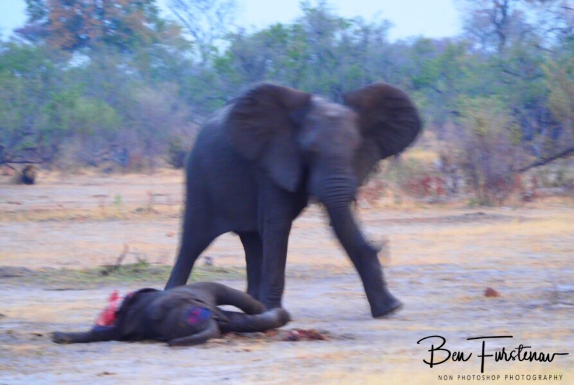 The small elephant was more intriguing, but also more frightened, Khaudum National Park, Namibia