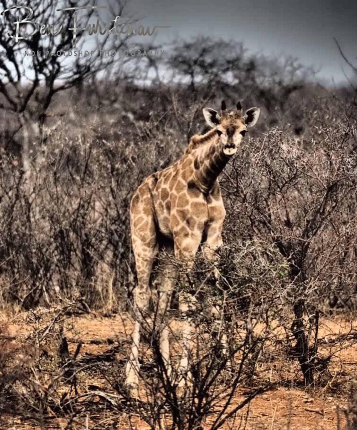 Giraffe curious looks, Sophienhof, Outjo, Namibia