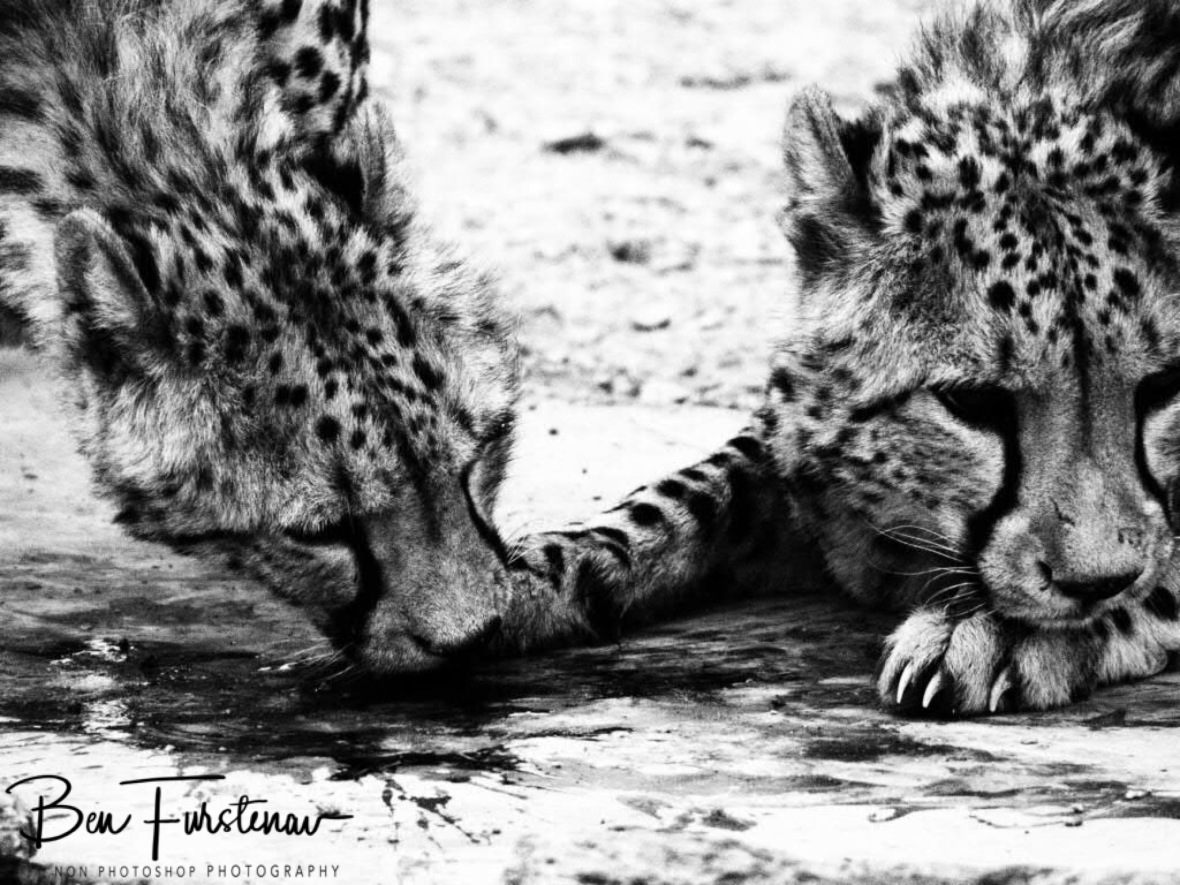 Licking the blood off, Sophienhof, Outjo, Namibia