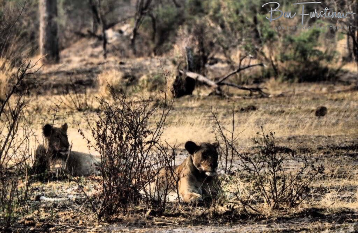 Two lioness observing the kids and my actions in the shade, Khaudum National Park, Namibia