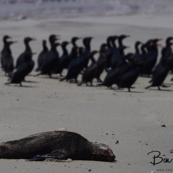 Seal, cormorants and sea gulls lunch break, Henties Bay, Namibia