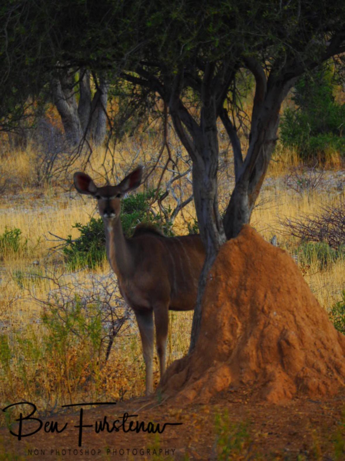 Kudu's curious looks, Sophienhof, Outjo, Namibia