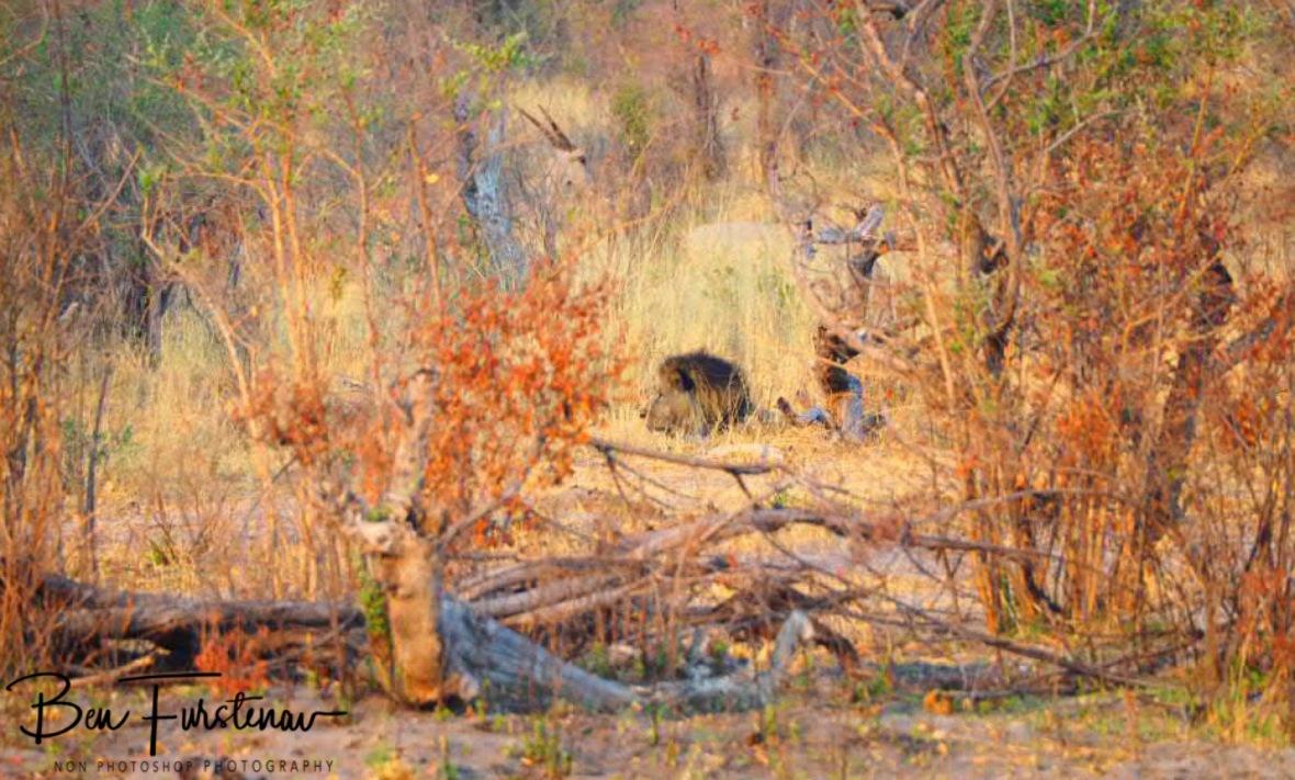 Lion king undetected by the Eland, Khaudum National Park, Namibia