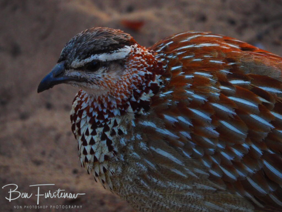 A pheasant surprise, Khaudum National Park, Namibia