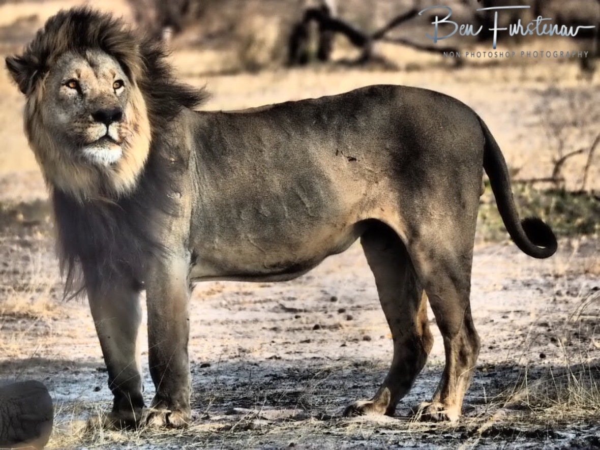 Black maned lion, Khaudum National Park, Namibia