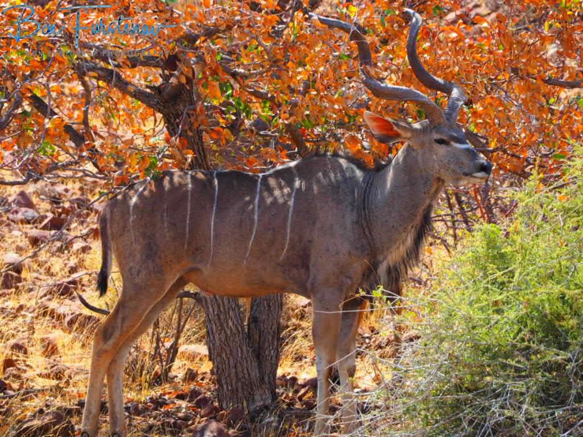 Impressive antlers, Groote Berge, Kaokoveld, Namibia