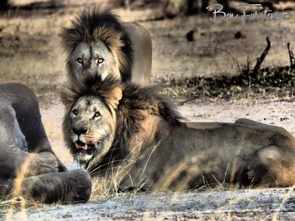 Lion Double, Khaudum National Park, Namibia