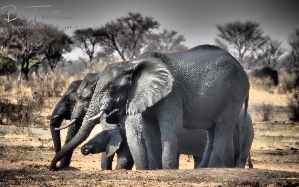 The others are drinking, Khaudum National Park, Namibia